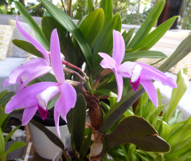 Cattleya perrinii 15-10-15