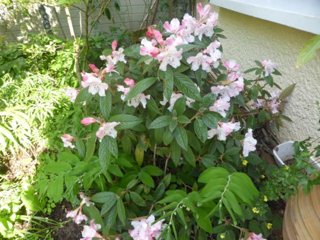 Rhododendron edgeworthii 20-04-14