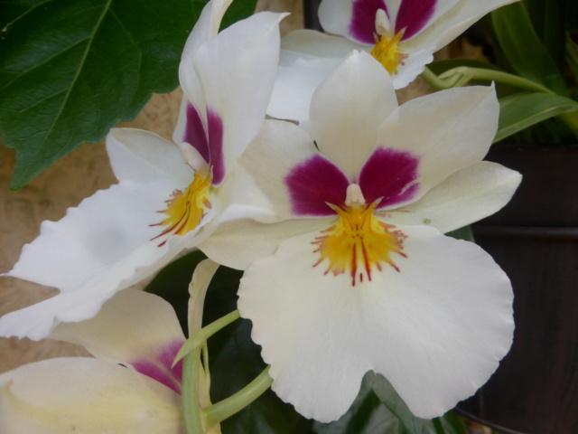 Miltoniopsis sp. 20-09-13