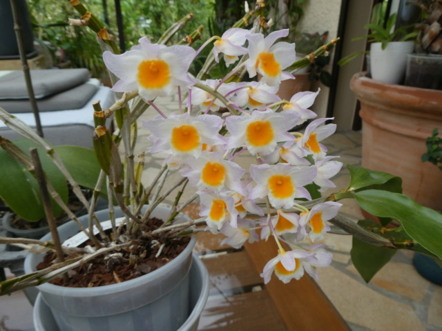 Dendrobium farmeri  P1010513