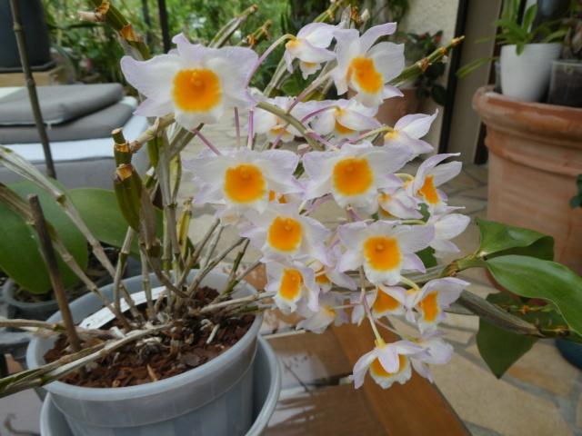Dendrobium farmeri  P1010514
