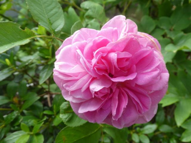 tous ces rosiers que l'on aime - floraisons - Page 7 P1010615