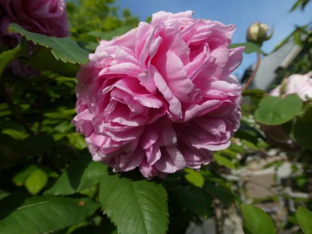 tous ces rosiers que l'on aime - floraisons - Page 7 P1010710