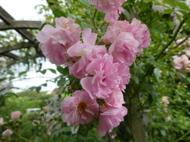 tous ces rosiers que l'on aime - floraisons - Page 6 P1010910