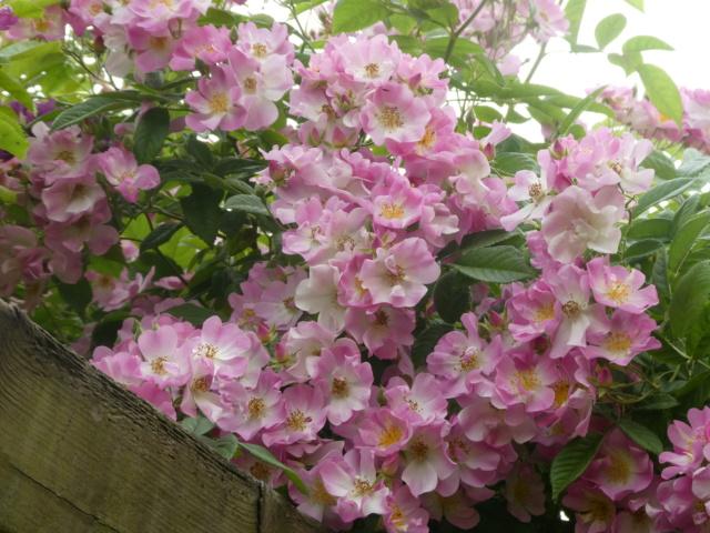 tous ces rosiers que l'on aime - floraisons - Page 6 P1010911