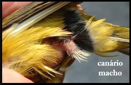 DIFERENCIA DE MACHO HEMBRA CANARIOS Sexo2b10