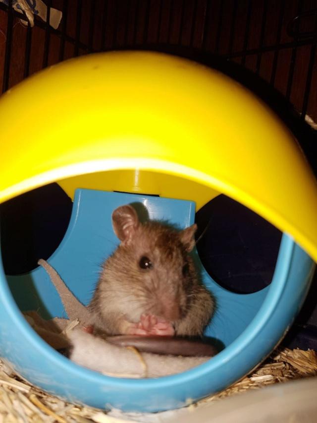 Petit rongeur (rat ?) à sauver Receiv10