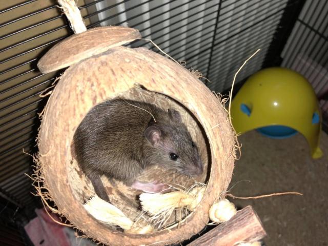 Petit rongeur (rat ?) à sauver Receiv11