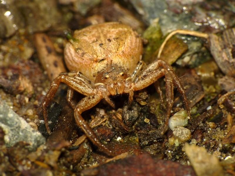 Araignée, jaunatre, gros abdomen P1000710