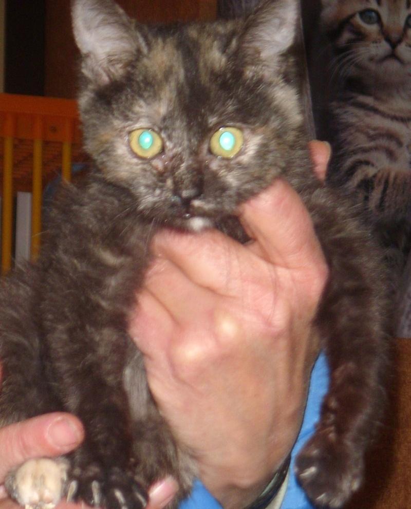 LULLABY (chaton écaille de tortue) St835010