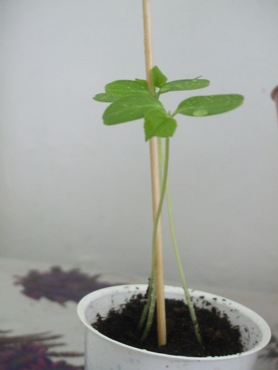 Cucumis metuliferus(Kiwano) 14629210