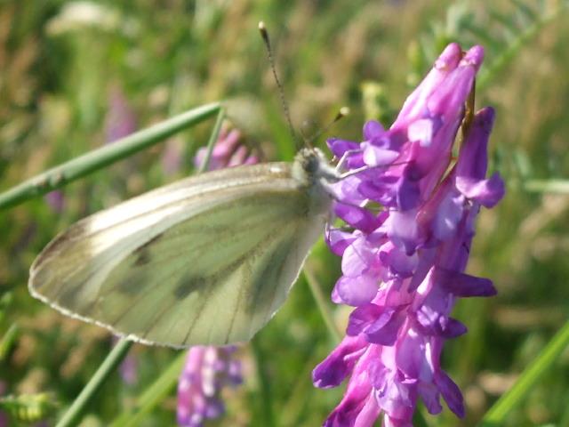 papillons 15895110