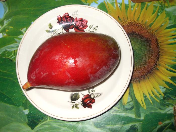 la culture du manguier, germination ... 17843010