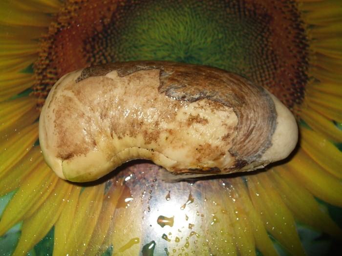 la culture du manguier, germination ... 17843011