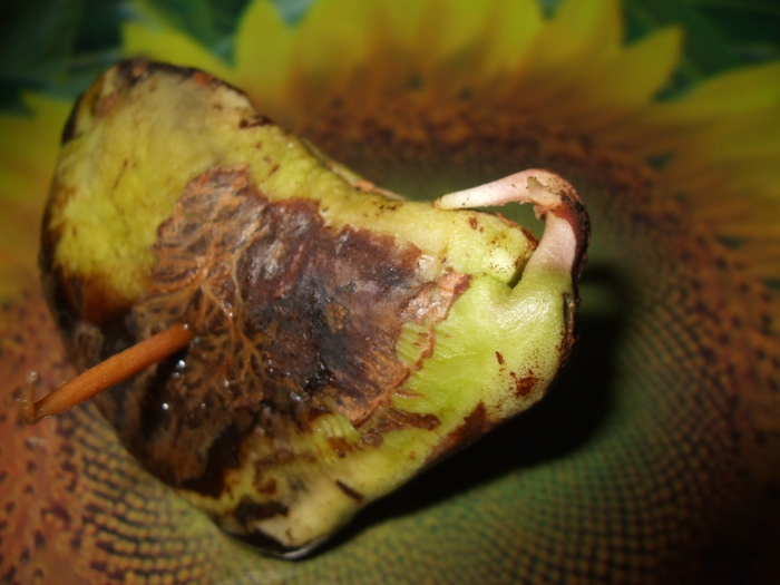 la culture du manguier, germination ... 17843012