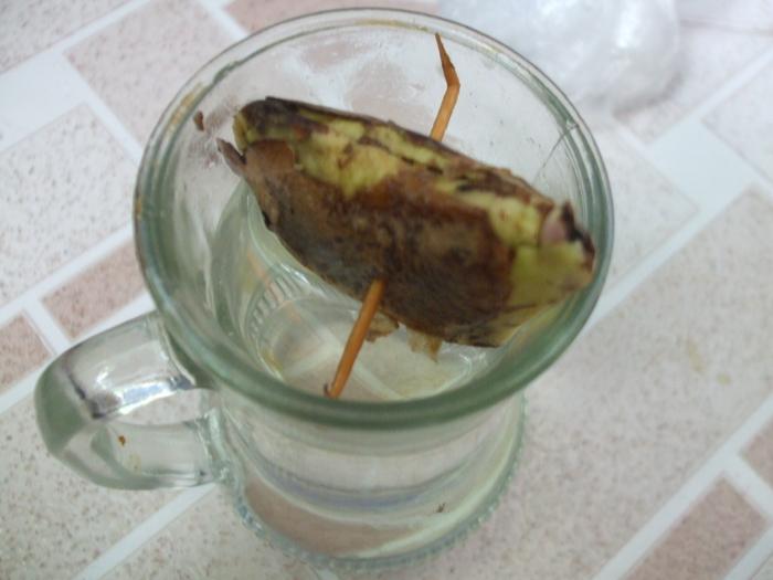 la culture du manguier, germination ... 17843013