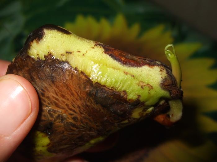 la culture du manguier, germination ... 18047310