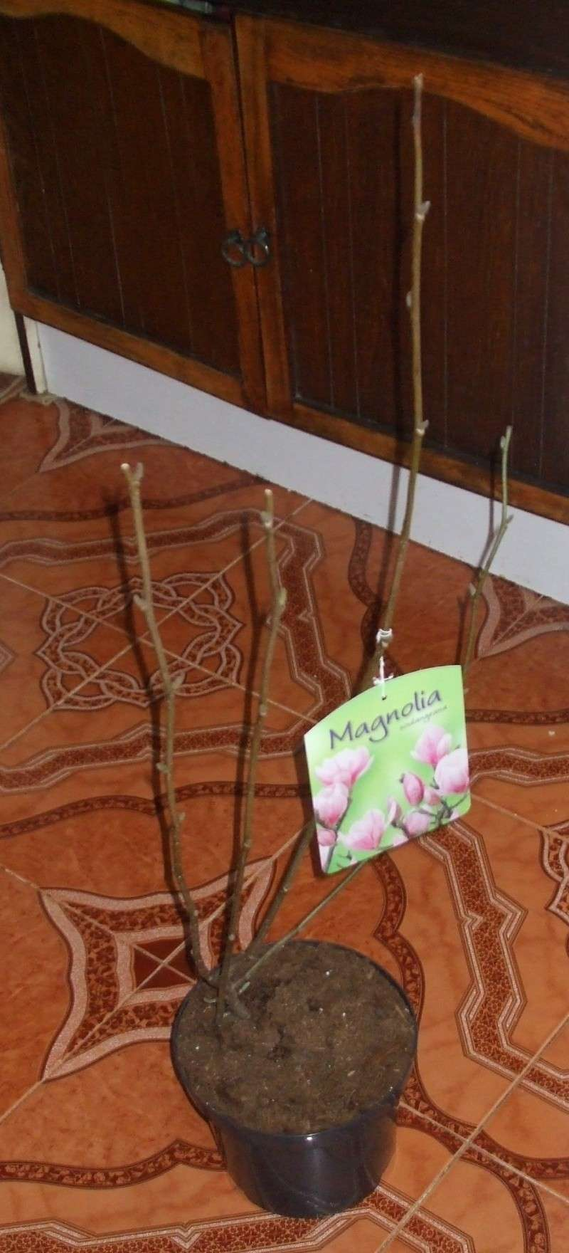 Magnolias Dscf1010