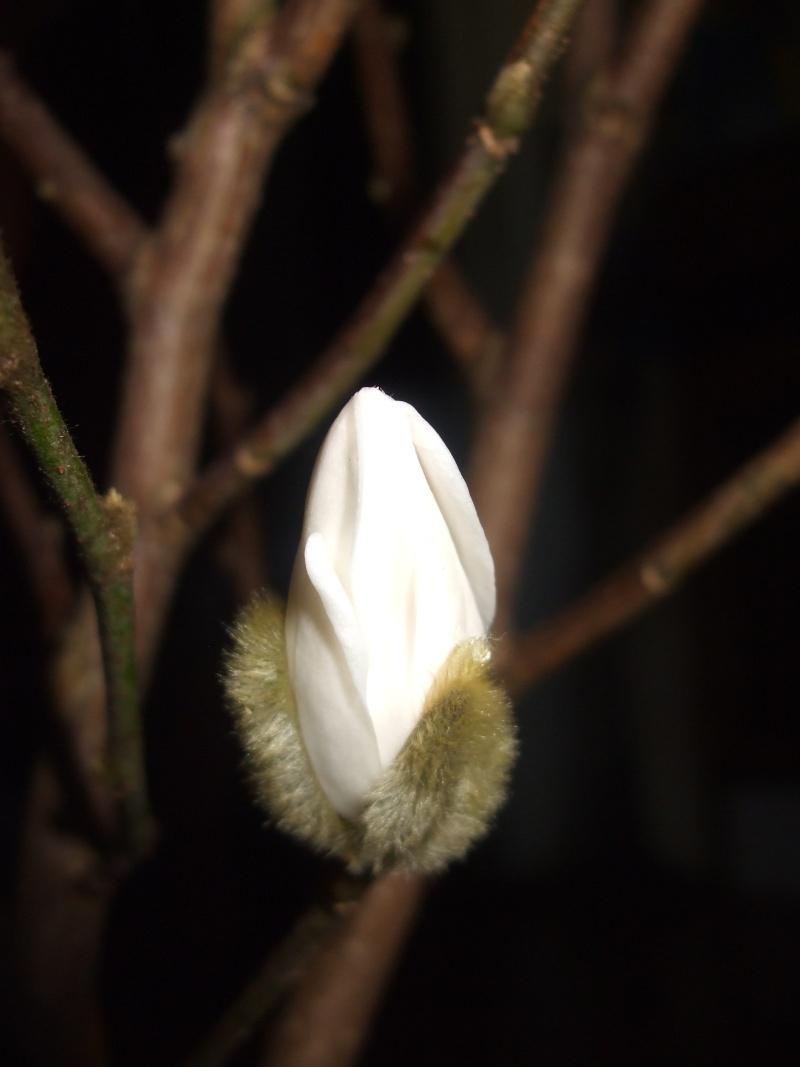 Magnolias - Page 2 Dscf1514