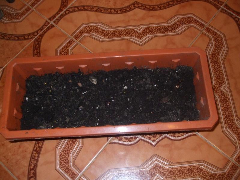 La culture du litchi/lichies/litchee, la germination et l'entretien du litchi Dscf2616