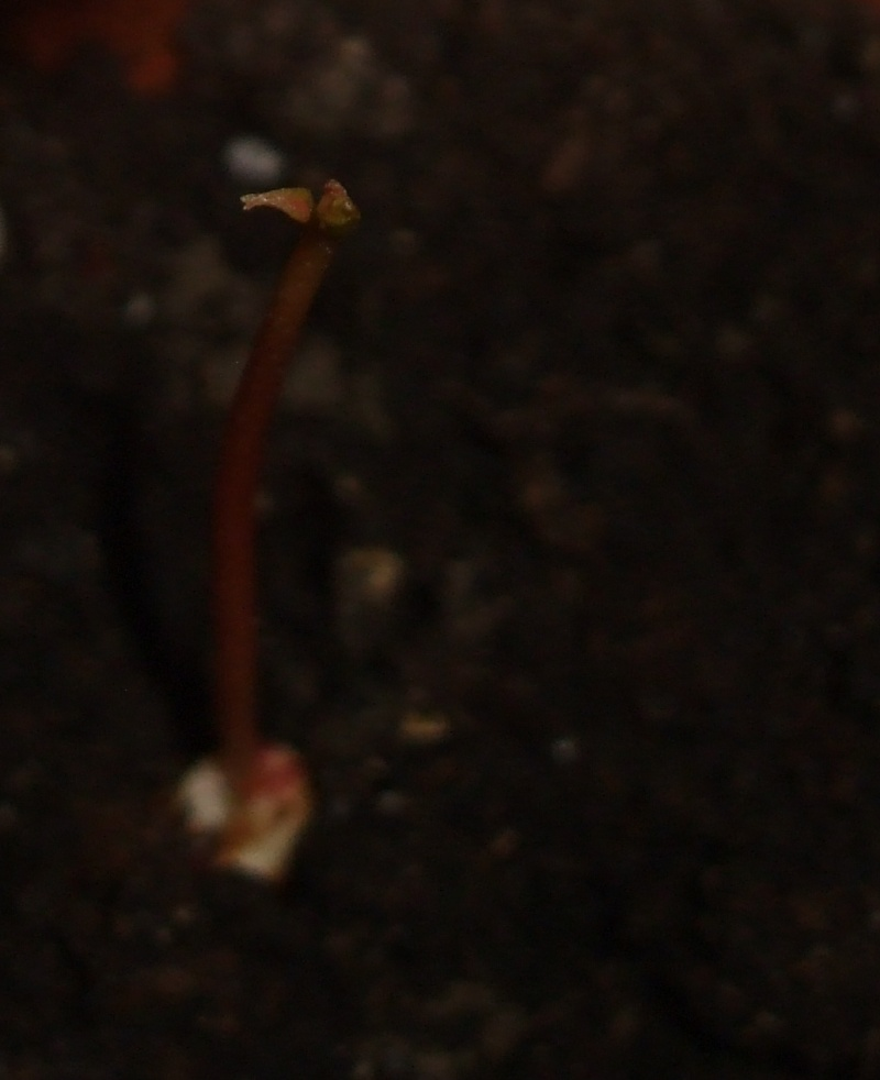 La culture du litchi/lichies/litchee, la germination et l'entretien du litchi Dscf2617