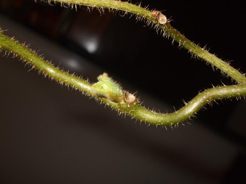 la culture du kiwi, germination et entretien Dscf2618