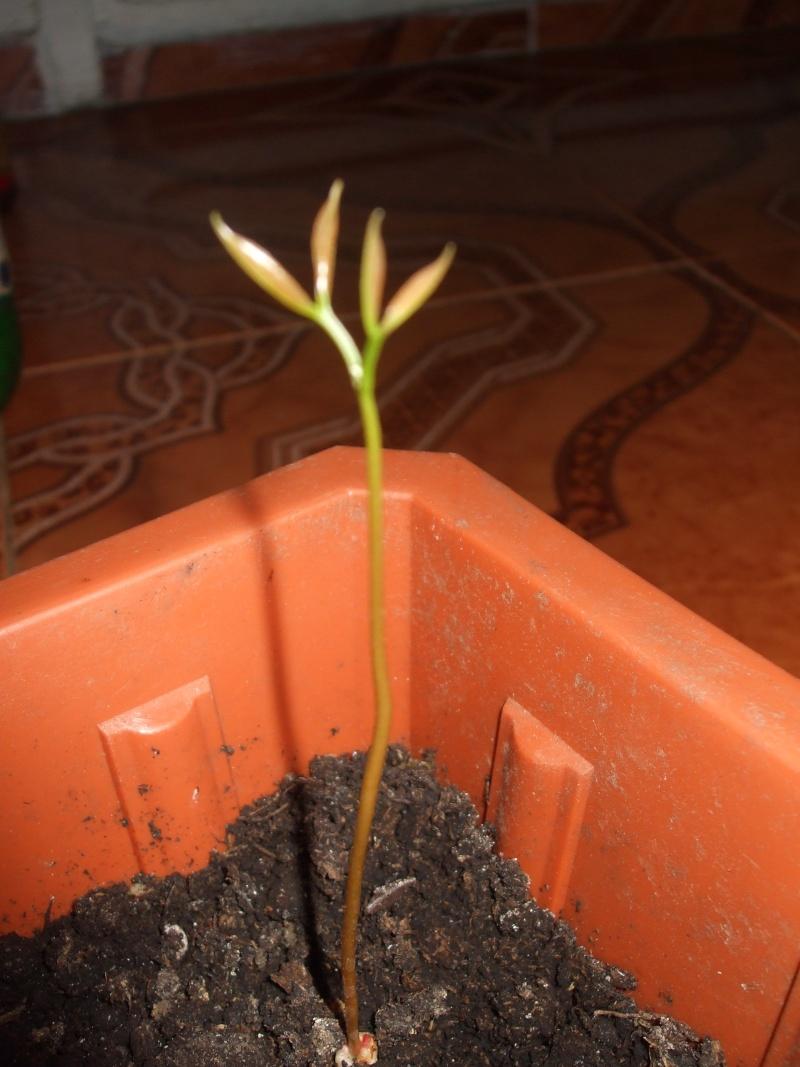 La culture du litchi/lichies/litchee, la germination et l'entretien du litchi Dscf2833