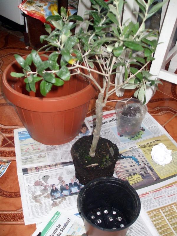 La culture et l'entretien de l'olivier- -Olea Europea - Page 2 Dscf2919