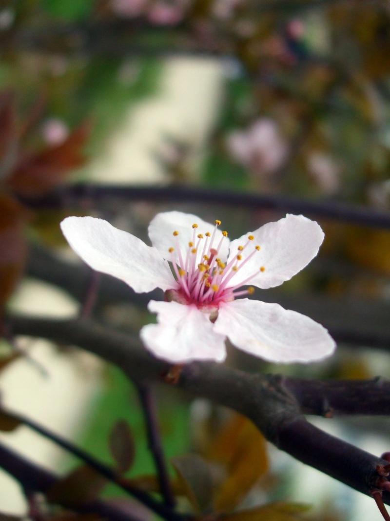 floraisons des arbres et des arbustes - Page 2 Dscf3213