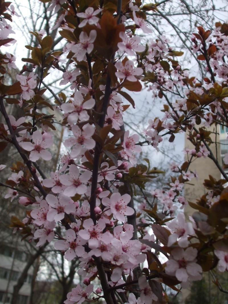 floraisons des arbres et des arbustes - Page 2 Dscf3217