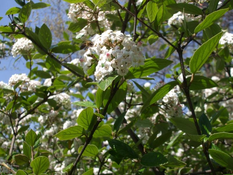 floraisons des arbres et des arbustes Dscf3710