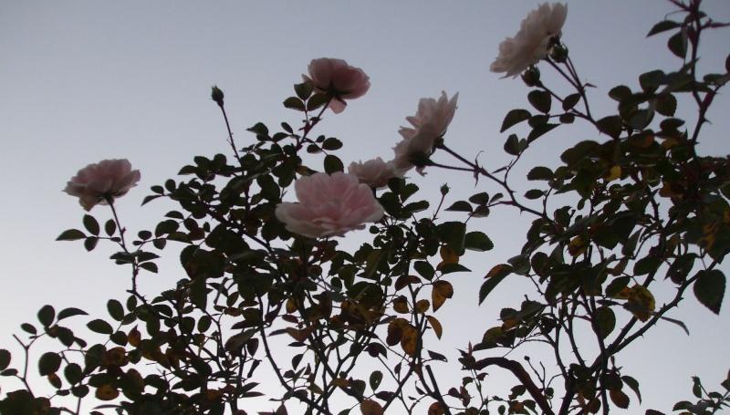 Floraisons de novembre - Page 2 Dscf4814