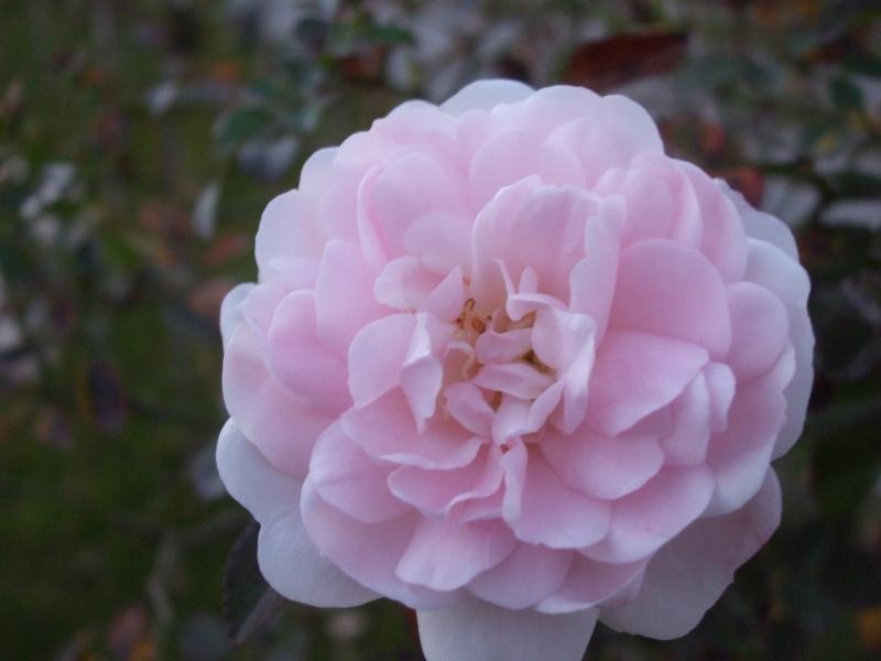 Floraisons de novembre - Page 2 Dscf4815