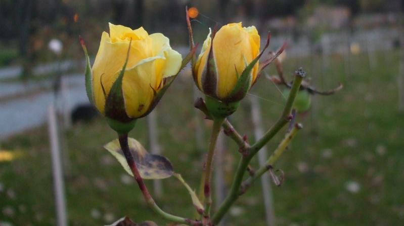Floraisons de novembre - Page 2 Dscf4816