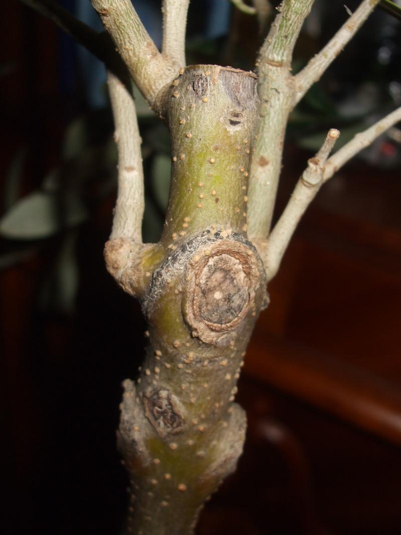 La culture et l'entretien de l'olivier- -Olea Europea Dscf5212