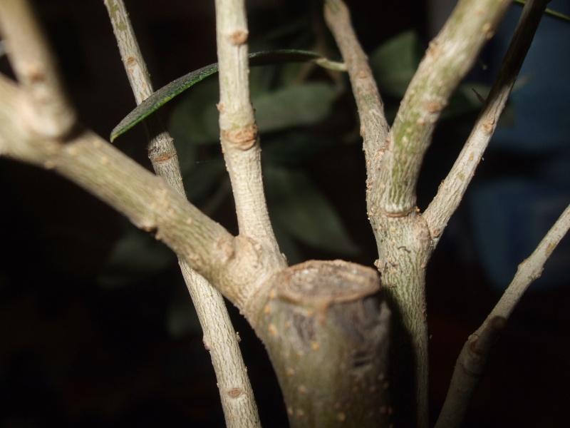 La culture et l'entretien de l'olivier- -Olea Europea Dscf5213