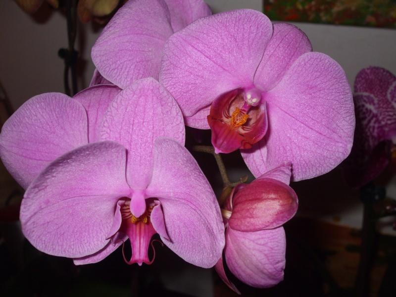 floraisons des orchidées - Page 3 Dscf7512