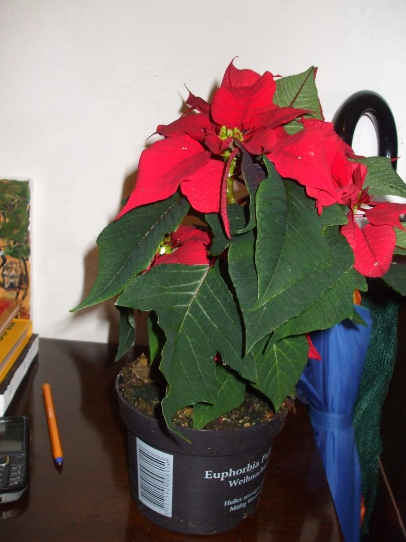 Euphorbia pulcherrima- Poinsettia, étoiles de Noël  :bouturage, entretien Dscf7615