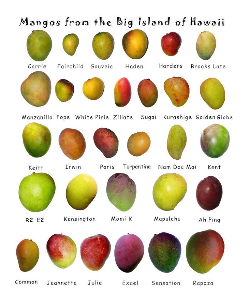 la culture du manguier, germination ... Mango10