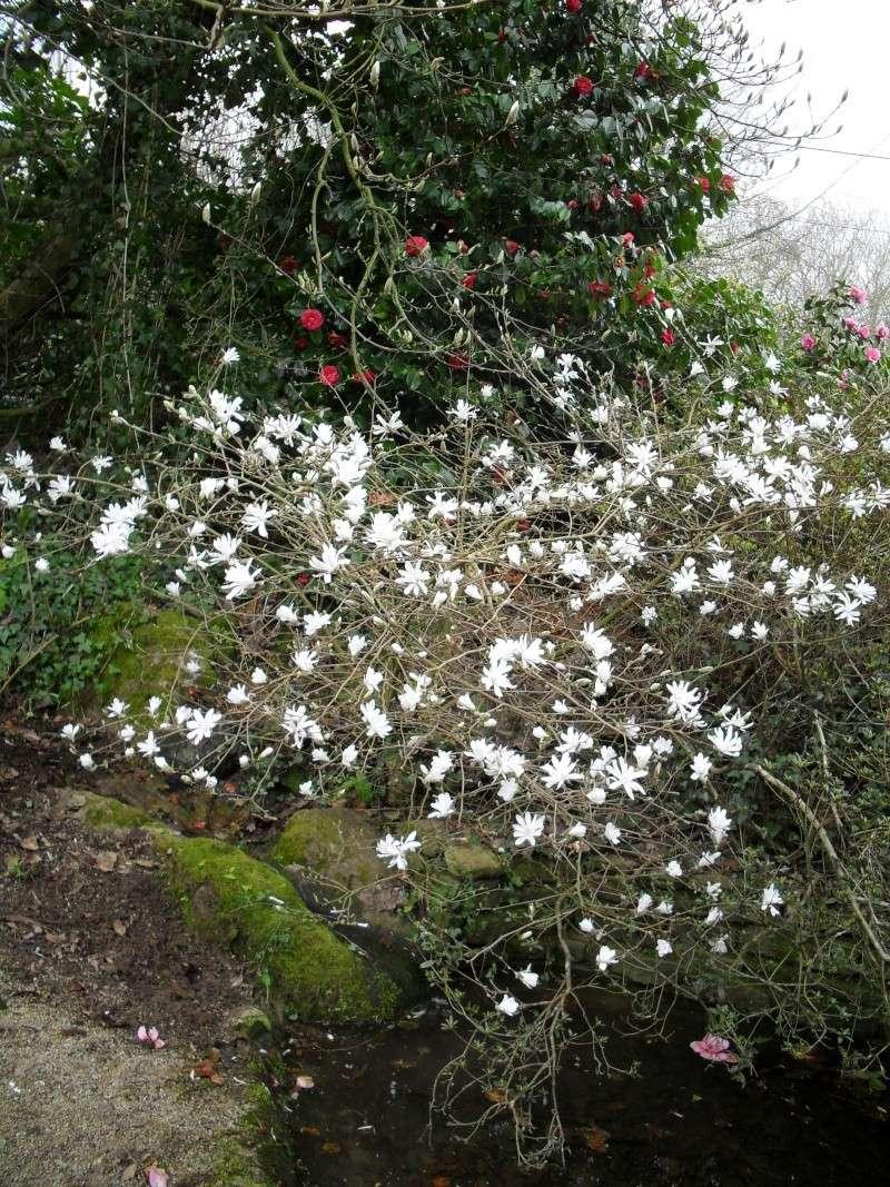 Magnolias 00211