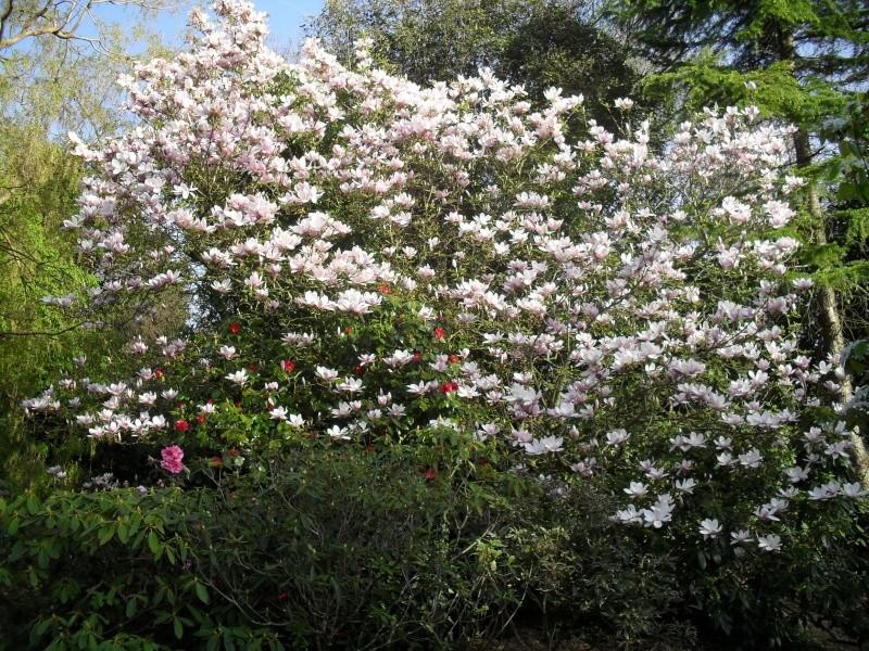 Magnolias 00212
