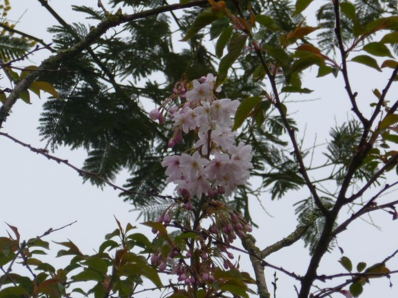 floraisons des arbres et des arbustes 00227