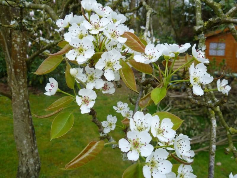 floraisons des arbres et des arbustes 00423