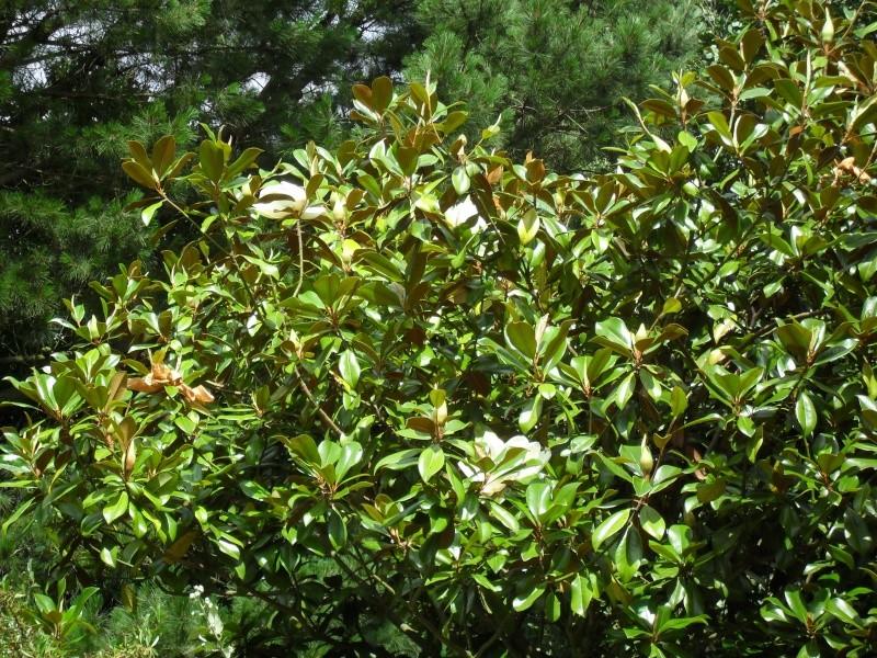 Magnolias 00712