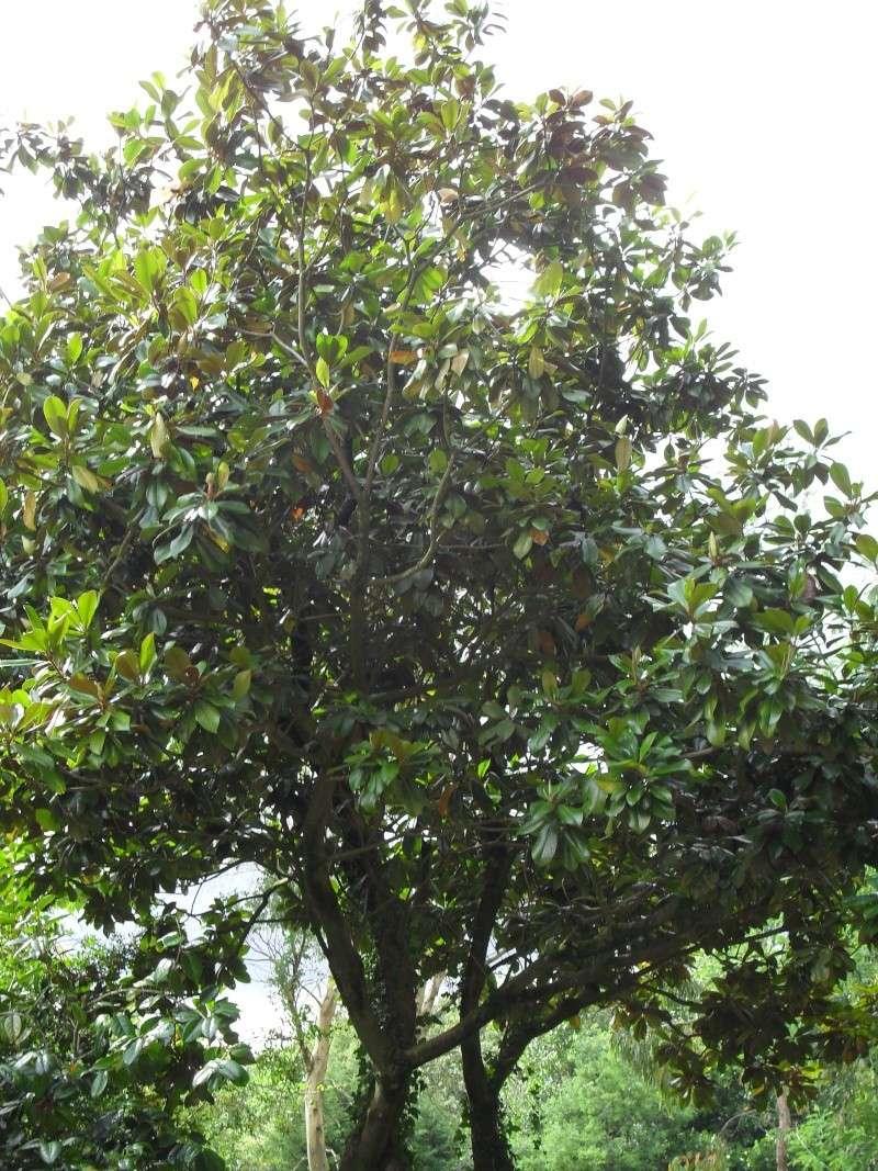 Magnolias 00810