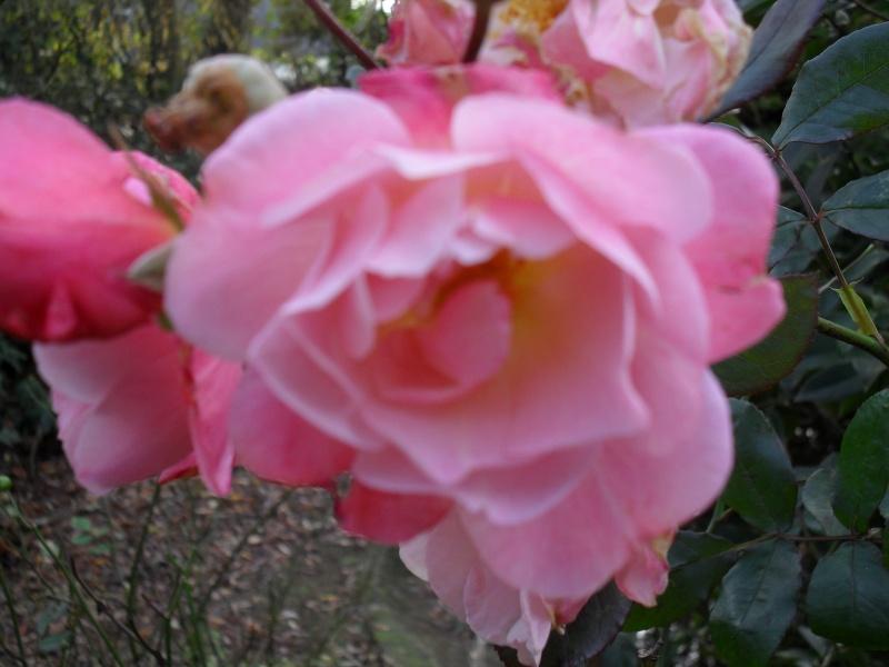 Floraisons de novembre - Page 2 00811