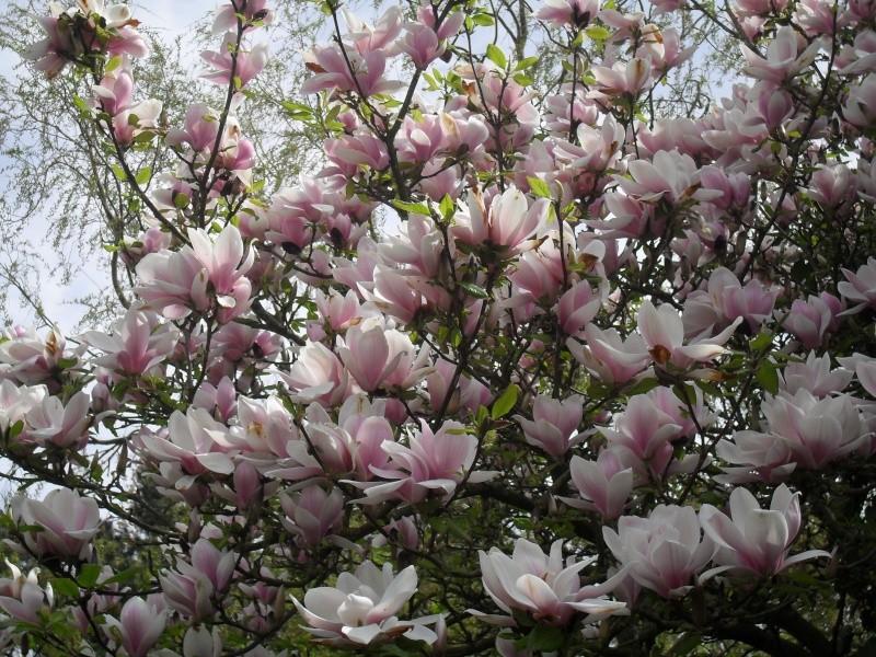 Magnolias 00910