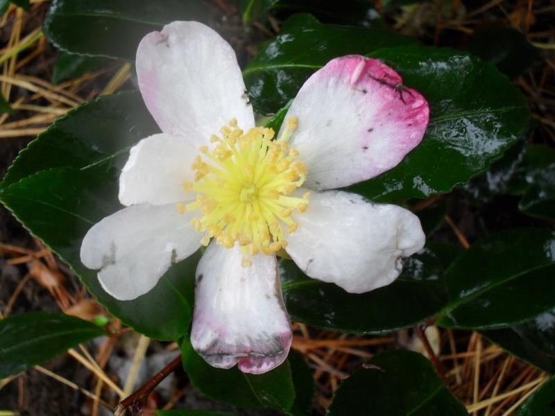 Floraisons de novembre 01110