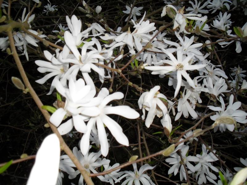 Magnolias 01210