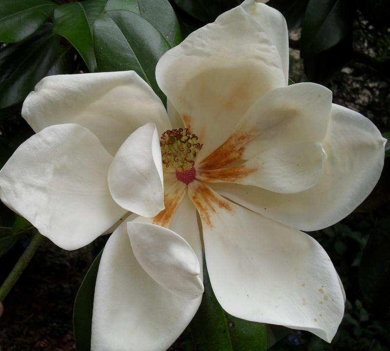 Magnolias 01612